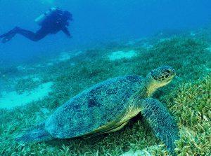 Marsa Alam Gruppenreise local guide Tauchen Diving discover turtle Schildkröte